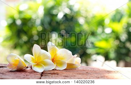 Blooming white Plumeria or Frangipani flowers on the brick floor in blurred green bokeh background
