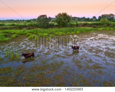 Water buffalos standing on green grass, shot from aerial