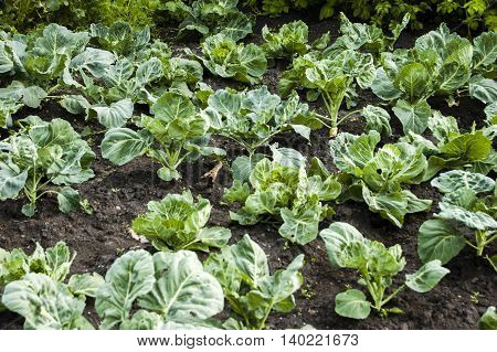 Green cabbage growing in the summer in the garden.