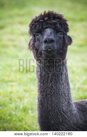 close up funny face of black fur alpacas llama in natural field