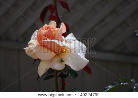 This is a close up image of a garden rose taken in early morning sun after a light rain in Carmel. California.