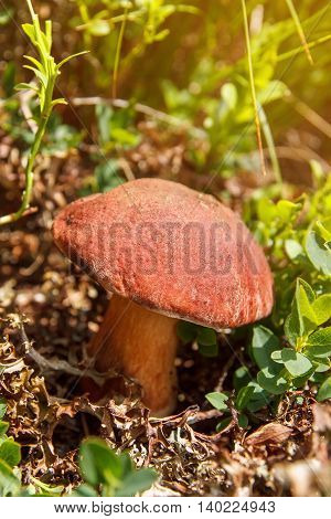 Boletus edulis or cep penny bun porcino or king bolete. Mushroom porcino or cep in it's natural habitat. Edible mushroom boletus edulis. Mushrooms in the autumn forest
