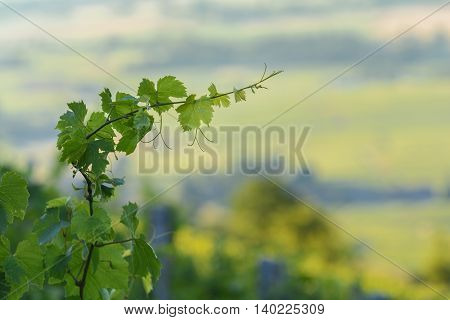 Leaves Of Young Vines In With Morning Lights, Beaujolais