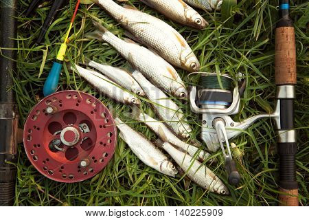 Several roach fish and fishing reel on green grass. Fishing background