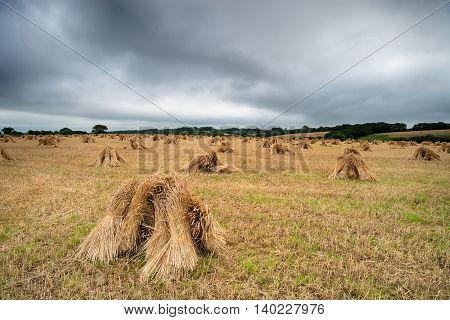 Devon Barley Stooks