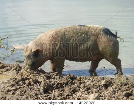 A young mottles pig on a farmyard
