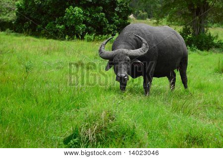 Water buffalo standing on green grass and looking to a camers