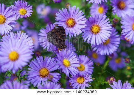 beautiful flower blue aster. closeup