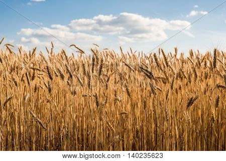 Field of wheat on a sunny day