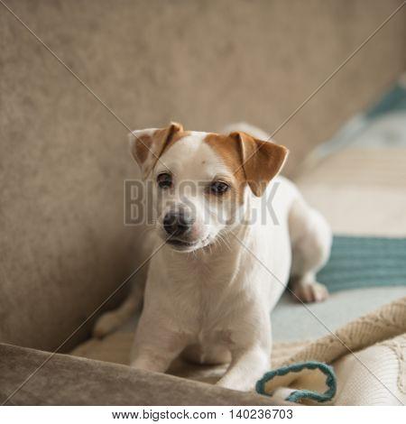 portrait terrier dog lying in the room pet
