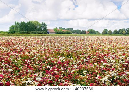 Large field with blossoming sweet william plants in a wide variety of colors at a specialized Dutch seed grower. It is a cloudy day in the mid summer season.