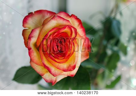 Red with yellow rose on a blurry background