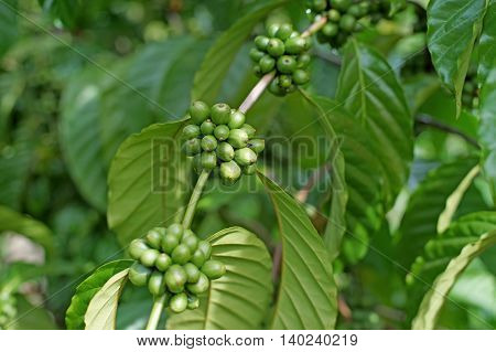 Young Coffee Beans On Tree