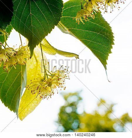 detail the linden blossoms with white sky