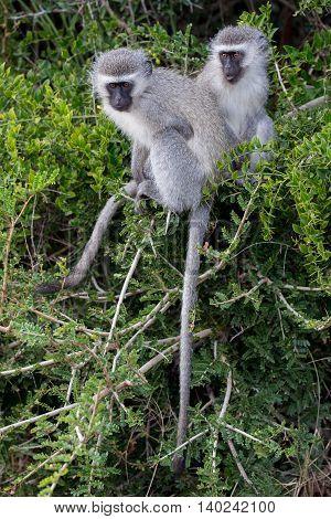 Two Cute Vervet Monkeys Little Image & Photo | Bigstock