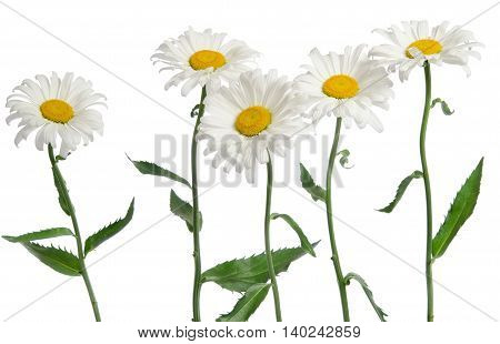 chamomile flowers bouquet on the white background