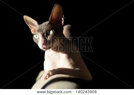 Cat breed Sphynx in the light of the sun from the window of the evening light on a black background