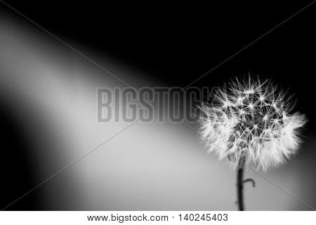 white dandelion on the black and white background