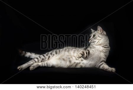 poster of Beautiful grey cat, portrait of cat, Cat portrait close up, cat head, beautiful Cat portrait close up, looking straight, cat isolated in dark background with space for advertising and text
