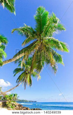 Coconut Scene Dream
