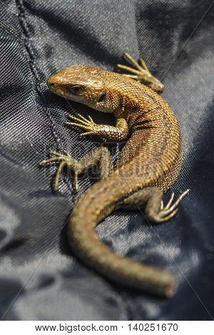 Green Lizard On A Black Tissue