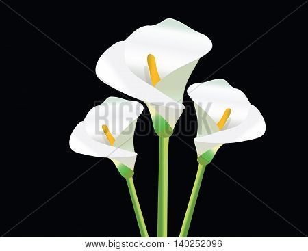 White Calla Lily flowers on black background Vector
