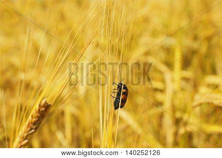 Bug on golden ear, close up