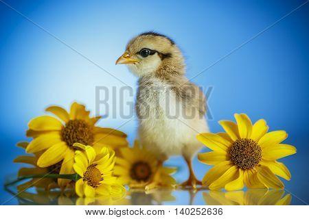 cute little chicken on a blue background