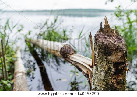 Beaver gnawed wood for the construction of the dam