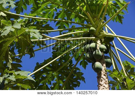 Papaya tree with ripe fruits on a background of the sky