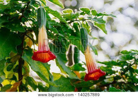 Blooming orange Datura or Brugmansia or Angel trumpet
