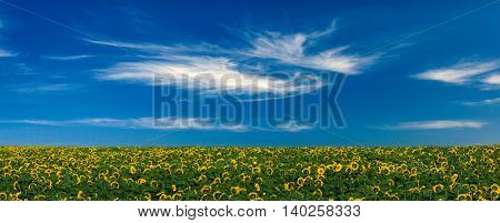 Panorama of field with sunflowers and beautiful blue sky