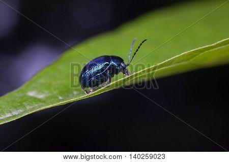 Cobalt blue beetle close up for background