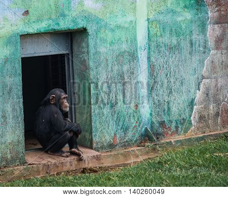 Chimpanzee Sitting In A Doorway