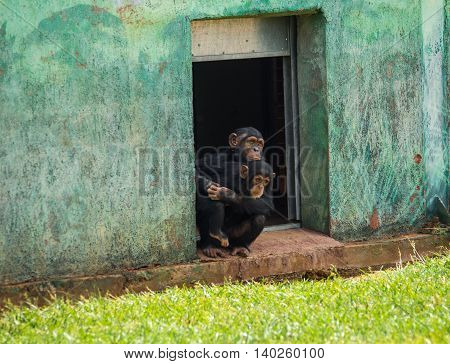 Two Chimpanzee Sitting In A Doorway