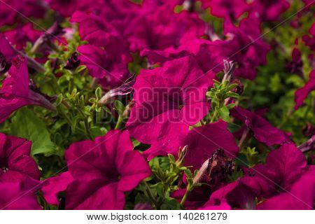 beautiful red million bells flower, calibrachoa. Spring flower with many red bloom in springtime