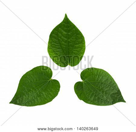 The Green Chaplo Leaf isolated on white.