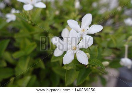 Gardenia flower on morning green background thai