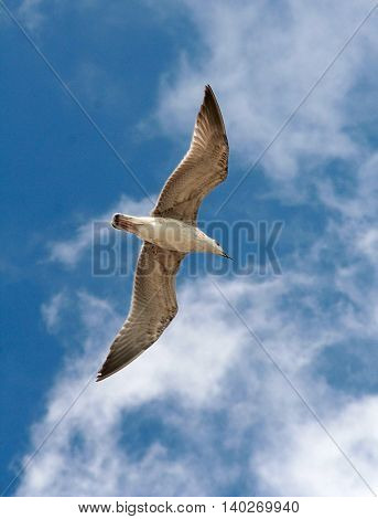 One seagull in the blue sky flying with opened wings