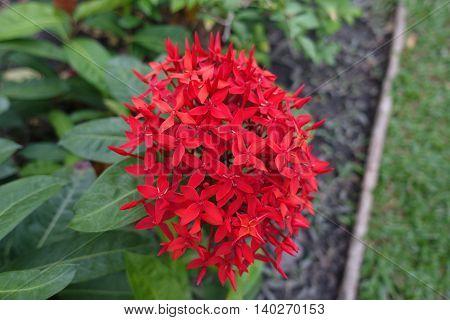 red Ixora flower with green leaf thai