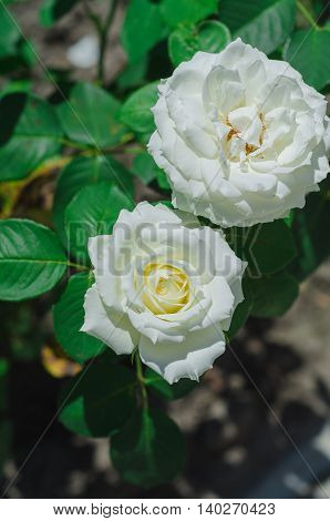 Beautiful white rose in a garden on green background