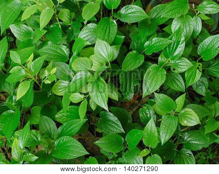 The Green Chaplo Leaves used to be food and herb.