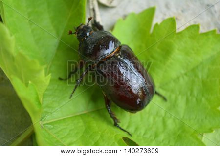 the female stag beetle, an insect in the garden