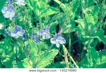 Small blue flowers in the green grass close up. Photo toned