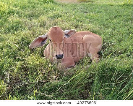 The red calf lying in a field