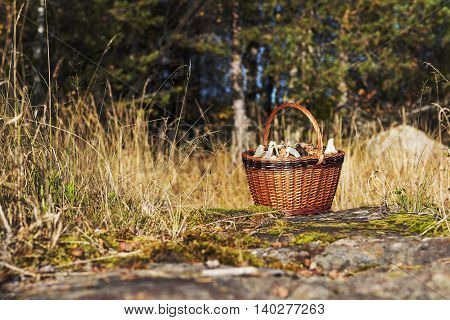 Fresh picked mushrooms in the basket. Harvesting mushrooms. Filling basket with fresh chantarelles. Starting a healthy life. Healthy diet.