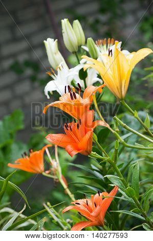 White orange and yellow lilies on the flower bed after rain on the house wall background