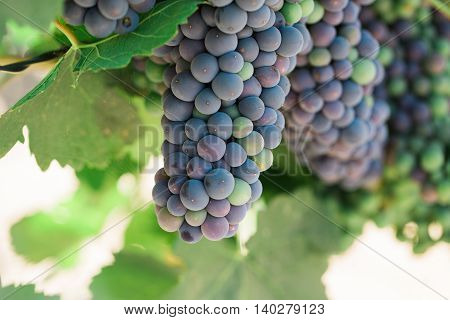 Grapes growing on a vine at vineyard