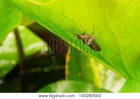 Large larva of king dragonfly in summer
