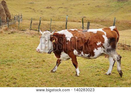 cow on farmland in Romania  in autumn